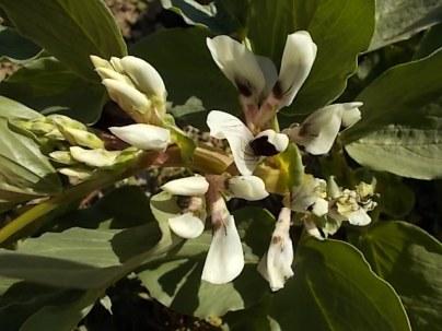 vasco e le fave fiorite dell'orto (11)