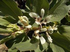 vasco e le fave fiorite dell'orto (2)