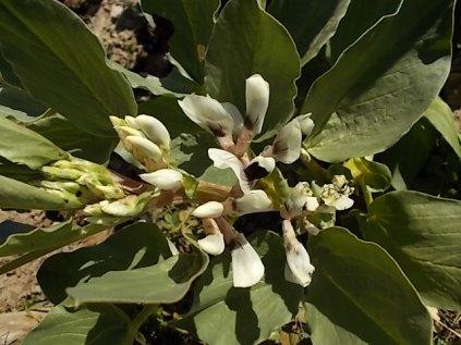 vasco e le fave fiorite dell'orto (3)