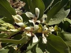 vasco e le fave fiorite dell'orto (4)