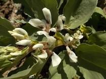vasco e le fave fiorite dell'orto (5)
