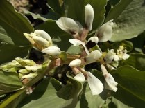 vasco e le fave fiorite dell'orto (8)