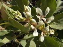 vasco e le fave fiorite dell'orto (9)