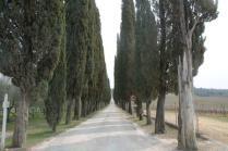 arceno il viale dei cipressi e dei fiori gialli (5)
