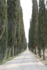 arceno il viale dei cipressi e dei fiori gialli (6)