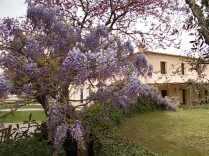 felsina, giaggiolo iris, albero di giuda, glicine, limoni (10)