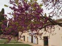 felsina, giaggiolo iris, albero di giuda, glicine, limoni (16)