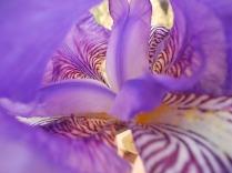 felsina, giaggiolo iris, albero di giuda, glicine, limoni (8)