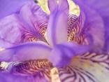 felsina, giaggiolo iris, albero di giuda, glicine, limoni (9)