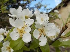fiore di pero (1)