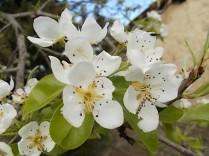 fiore di pero (3)