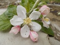 fiore melo (1)