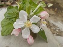 fiore melo (2)