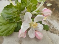 fiore melo (3)