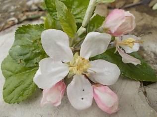 fiore melo (4)