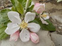 fiore melo (5)
