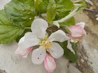 fiore melo (6)
