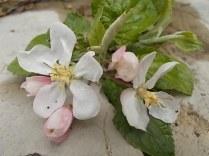 fiore melo (7)