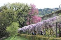 glicine villa bardini 2019 (1)