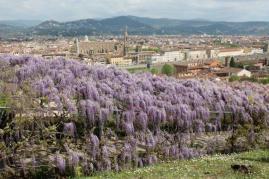 glicine villa bardini 2019 (17)