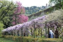 glicine villa bardini 2019 (2)