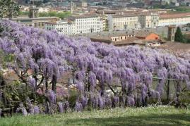 glicine villa bardini 2019 (26)