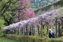 glicine villa bardini 2019 (3)