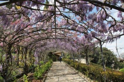 glicine villa bardini 2019 (8)