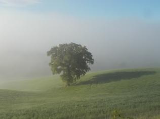 rondine, nebbia, berardenga, quercia (7)