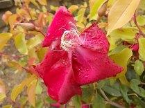 rosa e scarlatta (2)
