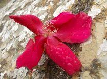 rosa e scarlatta (5)