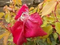 rosa e scarlatta (6)