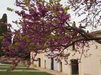 felsina-giaggiolo-iris-albero-di-giuda-glicine-limoni-16
