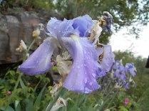 fiori di maggio (10)