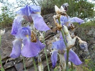 fiori di maggio (11)