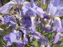 fiori di maggio (3)