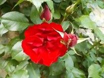 fiori di maggio (4)