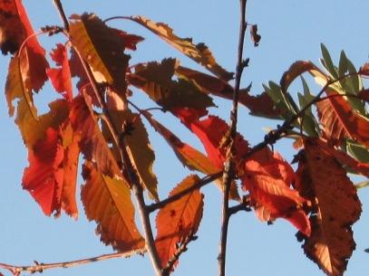 foglie-di-ciliegio