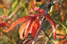 foglie-di-pesco-2