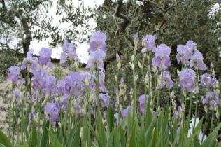 lamole, fioritura giaggioli 2019 (18)