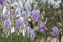 lamole, fioritura giaggioli 2019 (19)