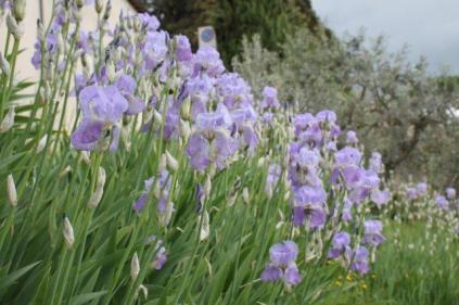 lamole, fioritura giaggioli 2019 (20)