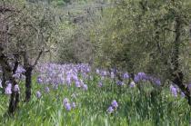 lamole, fioritura giaggioli 2019 (3)