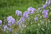 lamole, fioritura giaggioli 2019 (32)