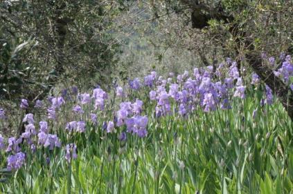 lamole, fioritura giaggioli 2019 (9)
