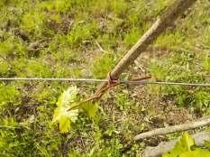 vigna legata con il salice (3)