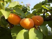 albicocche vertine (1)