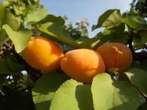 albicocche vertine (2)