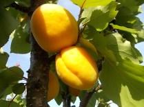 albicocche vertine (3)