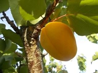 albicocche vertine (4)
